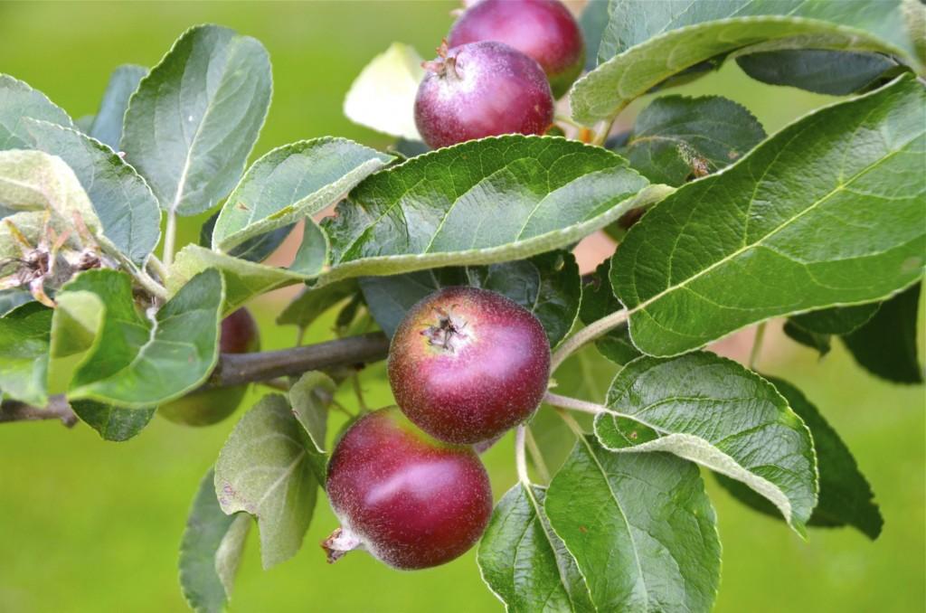 Manzanas del huerto. Falsled, Dinamarca. Copyright, Hernando Reyes.