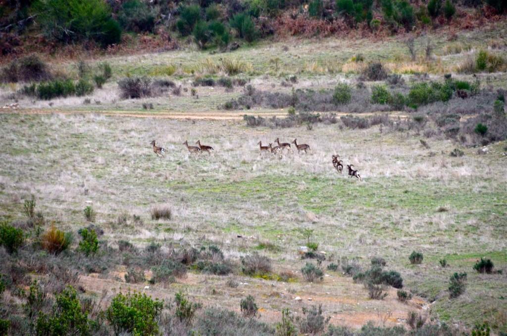 Animales de caza en Safari fotográfico en Valle Feitoso, Monfortinho, Portugal. Copyright Hernando Reyes.