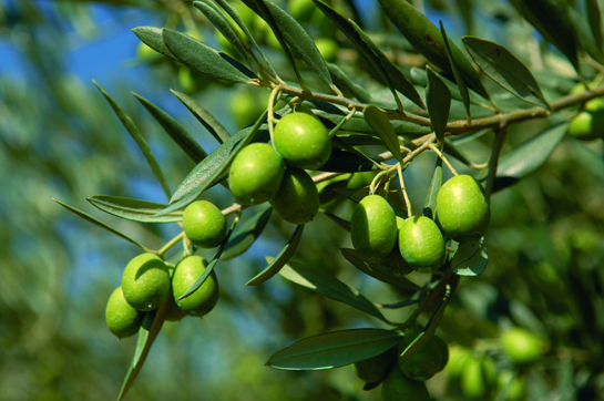 Aceite-Rioja-Alavesa